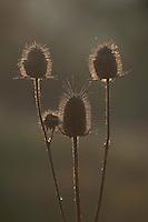 Common teasel (Dipsacus fullonum) in Codrii forest Reserve, central Moldova