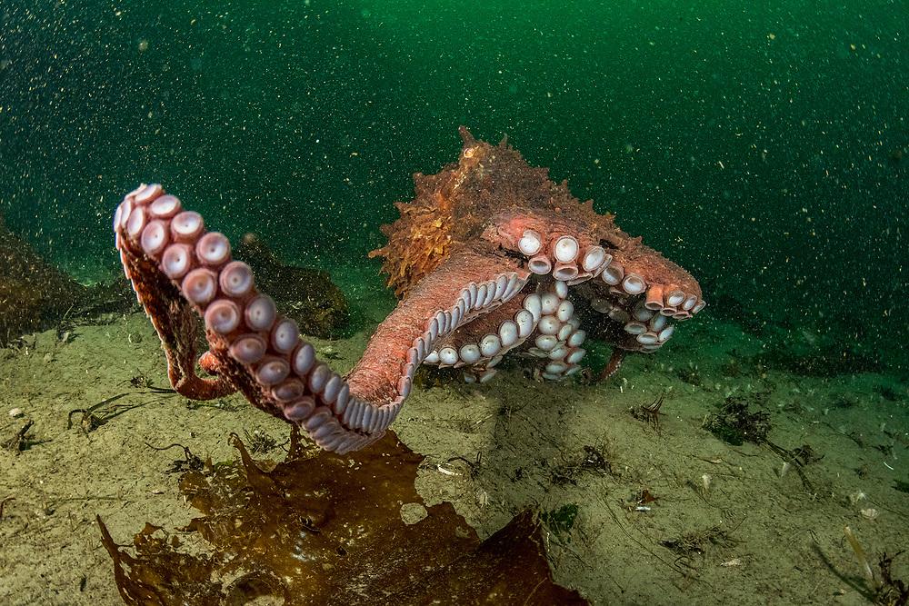 Giant pacific octopus (Enteroctopus dofleini) in Nanoose bay, Vancouver Island, British Columbia, Canada.