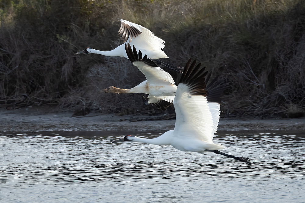 Grus americana, Grus canadensis, near Rockport Texas, January 2021