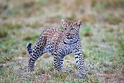 A young leopard cub (Panthera pardus) looking for its mother, Masai Mara, Kenya,Africa