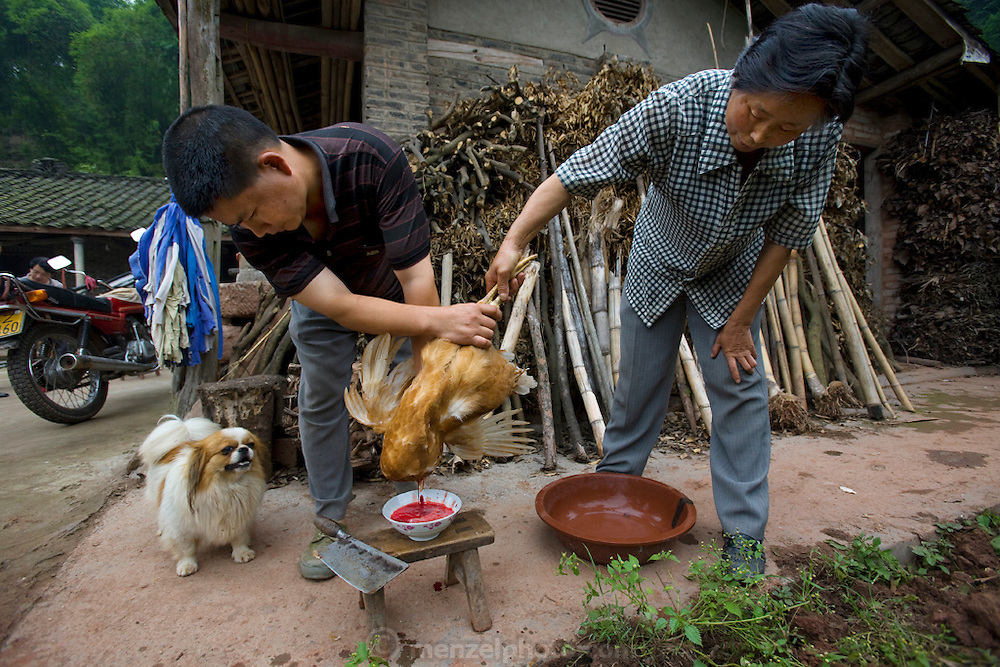 Lan Guihua (right), a widowed farmer, and her neighbor bleed a freshly killed chicken at her home in Ganjiagou Village, Sichuan Province, China. (She is featured in the book What I Eat: Around the World in 80 Diets). The caloric value of her day's worth of food on a typical day in June was 1900 kcals. She is 68 years of age; 5 feet, 3 inches tall; and 121 pounds. Her farmhouse is tucked into a bamboo-forested hillside beneath her husband's grave, and the courtyard opens onto a view of citrus groves and vegetable fields. Chickens and dogs roam freely in the packed-earth courtyard, and firewood and brush for her kitchen wok are stacked under the eaves. Although homegrown vegetables and rice are her staples, chicken feathers and a bowl that held scalding water for easier feather plucking are clues to the meat course of a special meal for visitors. In this region, each rural family is its own little food factory and benefits from thousands of years of agricultural knowledge passed down from generation to generation.  She lives in the area of Production Team 7 of Ganjiagou Village, 1.5 hours south of the provincial capital of Sichuan Province?Chengdu.
