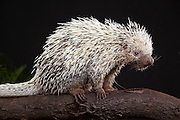 The Brazilian Porcupine (Coendou prehensilis) is a porcupine found in tropical forests in Brazil, Argentina, Venezuela, the Guyanas, and Bolivia. Captive.