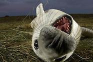 Grey Seal, United Kingdom