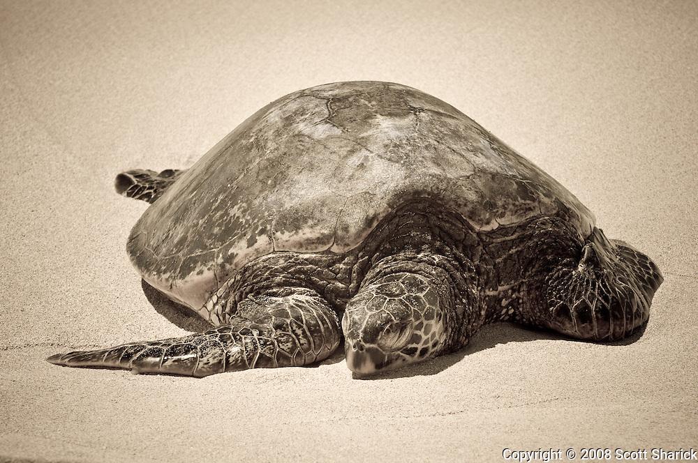 A honu (Hawaiian Green Sea Turtle) rests on a Hawaiian Beach.