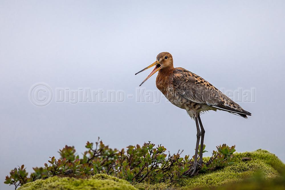 Black tailed godwit captured on Iceland   Svarthalespove fotografert på Island.