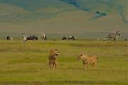 Male and female lions, Ngorongoro Conservation Area, Tanzania.