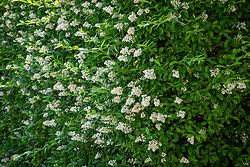 Privet hedge in flower - Ligustrum ovalifolium