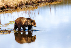 Grizzly Bear crossing  Indian Creek casts a nice reflection in Yellowstone National Park.  Poor thing had recently tried to eat a porcupine and has quills in her muzzle for reminders of problematic food.