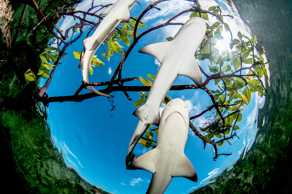 Lemon shark pups (Negaprion brevirostris) are social animals, proven to form friendships. Lemon shark pups spend the first 5-8 years of their life in mangrove forests. The tangle of roots provides protection from predators like large sharks and is full of potential prey like juvenile fish and crabs. Lemon sharks are the first species of shark proven to practice natal philopatry where the mother will return to the same area she was born in to give birth. Mangroves are being lost at unsustainable rates thanks to coastal development. Image made on Eleuthera, Bahamas.