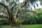 Spanish moss (Tillandsia usneoides) covers a water oak tree (Quercus nigra) in Timucuan Ecological and Historic Preserve, Florida.