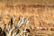 A Northern Flicker (Colaptes auratus) keeps an eye out for danger in the marsh at Boundary Bay in Delta, British Columbia, Canada