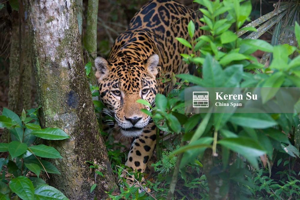 Jaguar in the forest, Belize