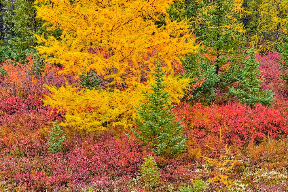 Barrenground vegetation in autumn near Ennadai Lake- black spruce, larch, blueberry, Arctic Haven Lodge, Ennadai Lake, Nunavut, Canada