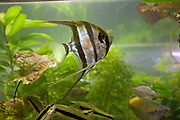 Pterophyllum scalare, most commonly referred to as angelfish or freshwater angelfish, is the most common species of Pterophyllum kept in captivity. It is native to the Amazon Basin in Peru, Colombia, and Brazil.
