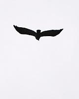 American Crow (Corvus brachyrhynchos). Image taken with a Nikon D2xs camera and 80-400 mm VR lens.