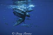 leatherback sea turtle, Dermochelys coriacea, Endangered Species, with pilot fish, Naucrates ductor, Azores Islands ( North Atlantic Ocean )