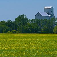 Mustard fields glow near a grain elevator on the Great Plains near Winnipeg, Manitoba.