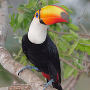 Toco toucan (Ramphastos toco) perched in a tree, Pantanal, Brazil