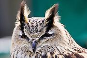 European Eagle Owl,Charlton Park, Wiltshire, England, United Kingdom
