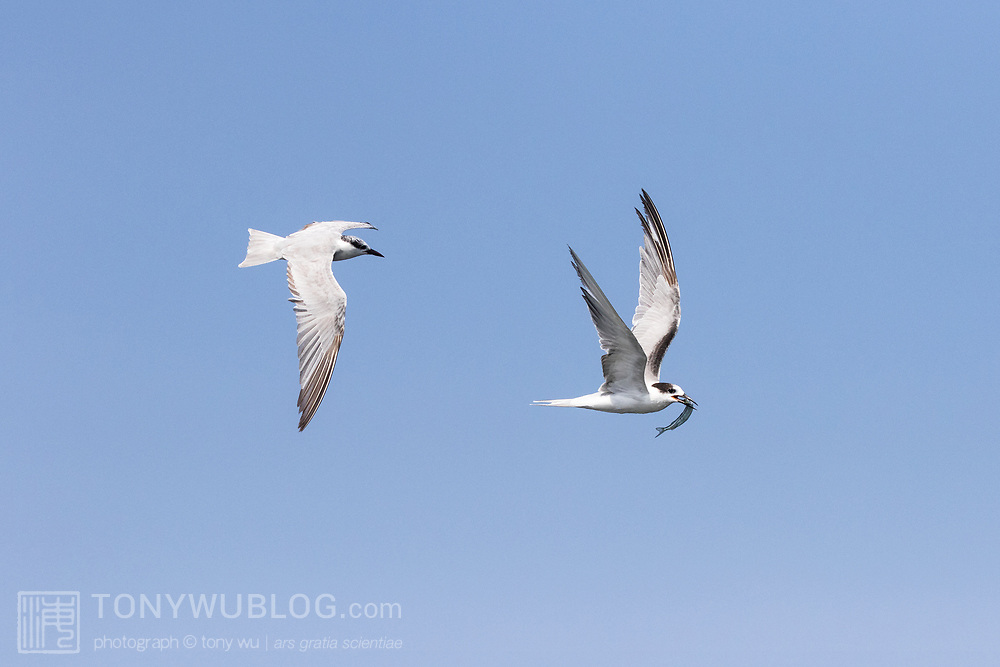 Common tern (Sterna hirundo) with fish that it has just caught, Hyporhamphus sp. (perhaps limbatus), being chased by a whiskered tern (Chlidonias hybrida)