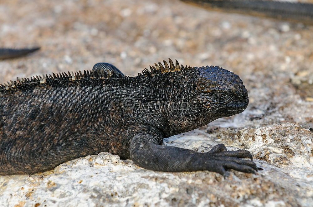 Marine Iguana, Amblyrhynchus cristatus nanus, from the isalnd of Genovesa, Galapagos. On this remote island the marine iguana are smaller than the subspecies found on other islands.