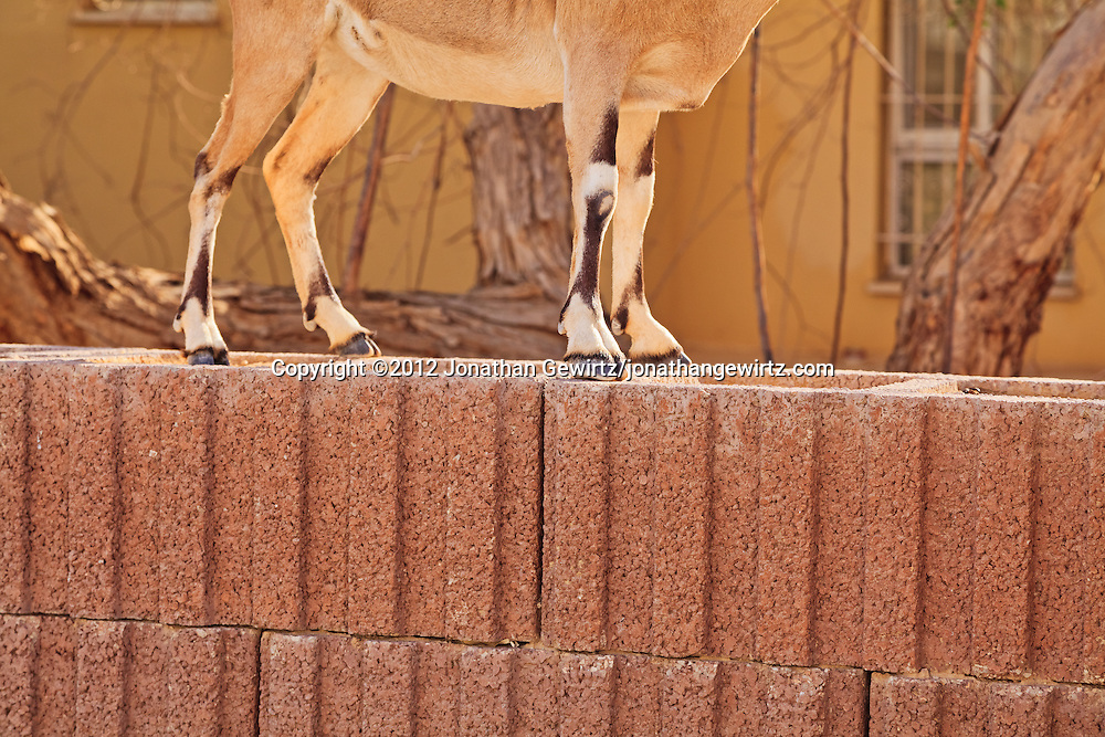 The legs and lower body of a Nubian ibex (Capra nubiana) standing on a fence next to a building near the Ein Gedi nature preserve. WATERMARKS WILL NOT APPEAR ON PRINTS OR LICENSED IMAGES.