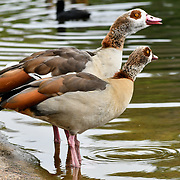 Egyptian Goose at St James park and a lovely weather on 23 April 2019, London, UK.