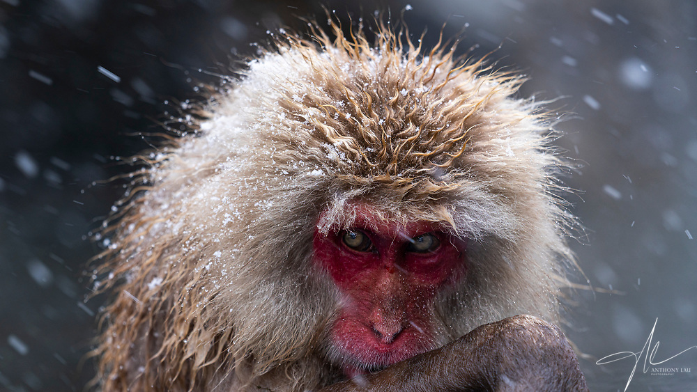 The expression of this snow spa monkey is so alike an old hermit pondering over its words.