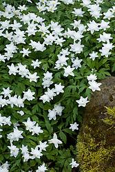 Anemone nemorosa 'Vestal', double Wood Anemone