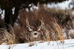 Nice mule deer buck bedded down in this winter range