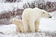 01874-109.11 Polar Bears (Ursus maritimus) female & 2 cubs near Hudson Bay, Churchill  MB, Canada