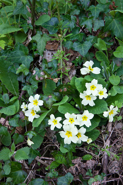 Spring and summer wildflowers Primroses, Primula vulgaris, with ivy nettles and cleavers Galium aparine in Cornwall