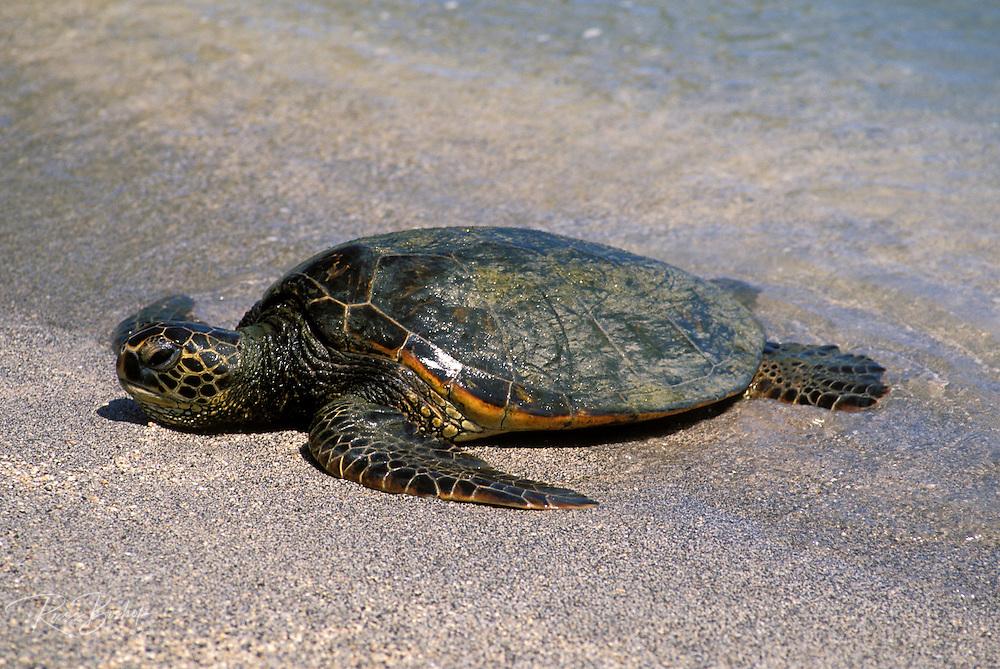 Green Hawaiian sea turtle at Pu'uhonua o Honaunau National Historic Park (City of Refuge), Kona Coast, The Big Island, Hawaii USA