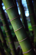 Bamboo<br />