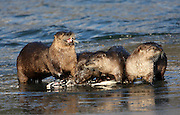 Alaska. Northern River Otters (Lontra canadensis) snacking on a silver salmon, Seward.
