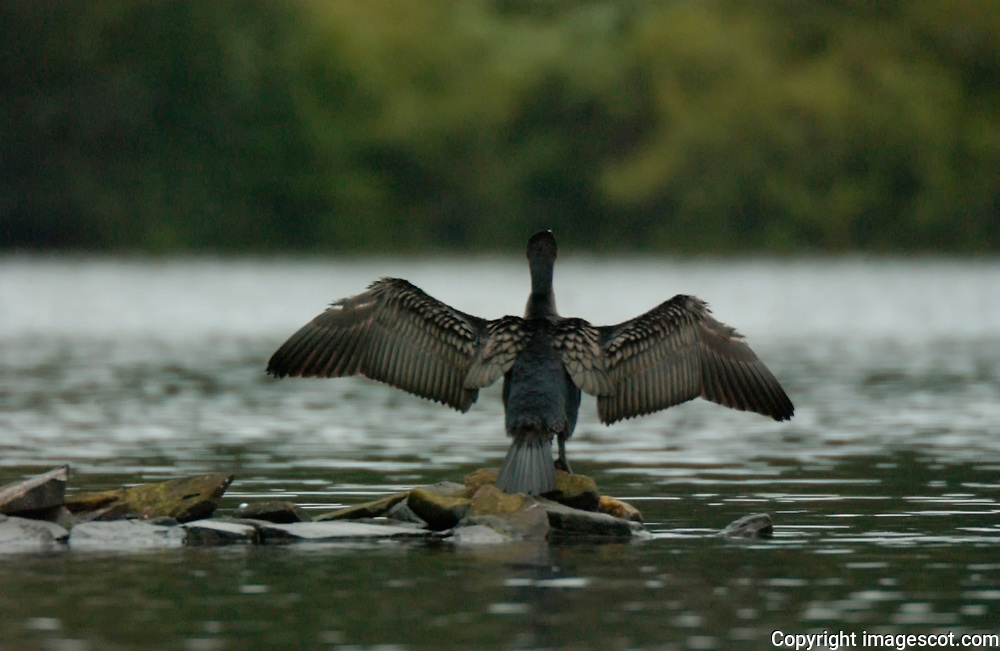 Cormorant drying wings<br /> *ADD TO CART FOR LICENSING OPTIONS*