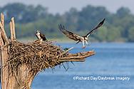 00783-01920 Osprey (Pandion haliaetus) landing at nest Rend Lake Jefferson Co. IL
