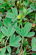 SIBBALDIA Sibbaldia procumbens (Rosaceae) Prostrate<br /> Creeping, tufted perennial of bare ground, short grassland and rocky places in mountains. FLOWERS are 5mm across with yellow petals that are sometimes absent (Jul-Aug). FRUITS are dry and papery. LEAVES are bluish green, trifoliate, the leaflets ovate with 3 terminal teeth. STATUS-Local in Scottish Highlands, rare in N England.
