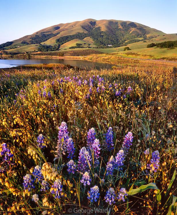 Wildflowers on Knoll and Black Mountain, Nicasio, Marin County, California