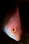 Pseudolabrus miles (Scarlet wrasse)