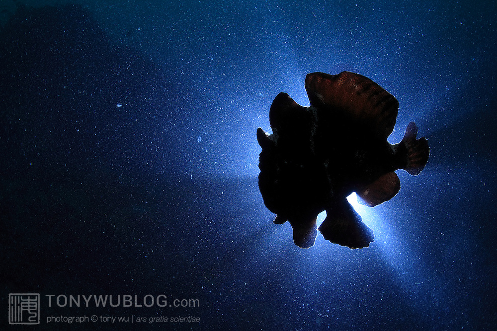 A pitch-black Commersons frogfish that was together with three other similarly colored frogfish moving among a series of large sponges in turbid water with poor visibility.