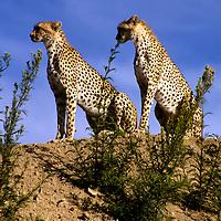 Africa, East Africa, Tanzania, Serengeti. A pair of cheetahs watch over the Serengeti plains.