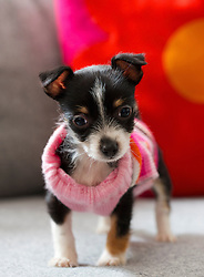 Tiny Puppy Wearing Pink Sweater