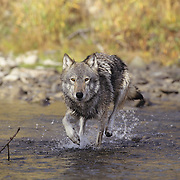 Gray Wolf (Canis lupus) adult running across a river in the Rocky Mountains of Montana. Captive Animal