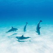 """Bottlenose dolphins (Tursiops truncatus) use echo-location to find prey hiding just under the sand - a strategy called """"crater feeding"""". Eleuthera, Bahamas."""