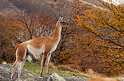Guanaco standing on a rock looks like he is using the rock as a look out, abundance of fall colors in the back ground.