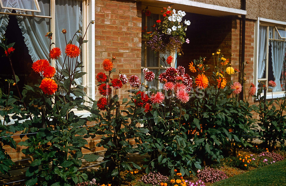 Homegrown beds of dahlias grow in the front garden of a council house in the early 1960s. The flowers are fine specimens of this species. Prospering, tall and healthy in summer sunshine in this front garden in Southend-in-Sea in Essex, England, their reds are brilliantly reproduced and recorded by Kodachrome film by an amateur photographer in 1963. Net curtains (drapes) can be seen in the windows and the green grass is clipped and mown to reflect the obsessive nature of the resident and plant grower. The picture shows us a memory of nostalgia in an era from the last century.