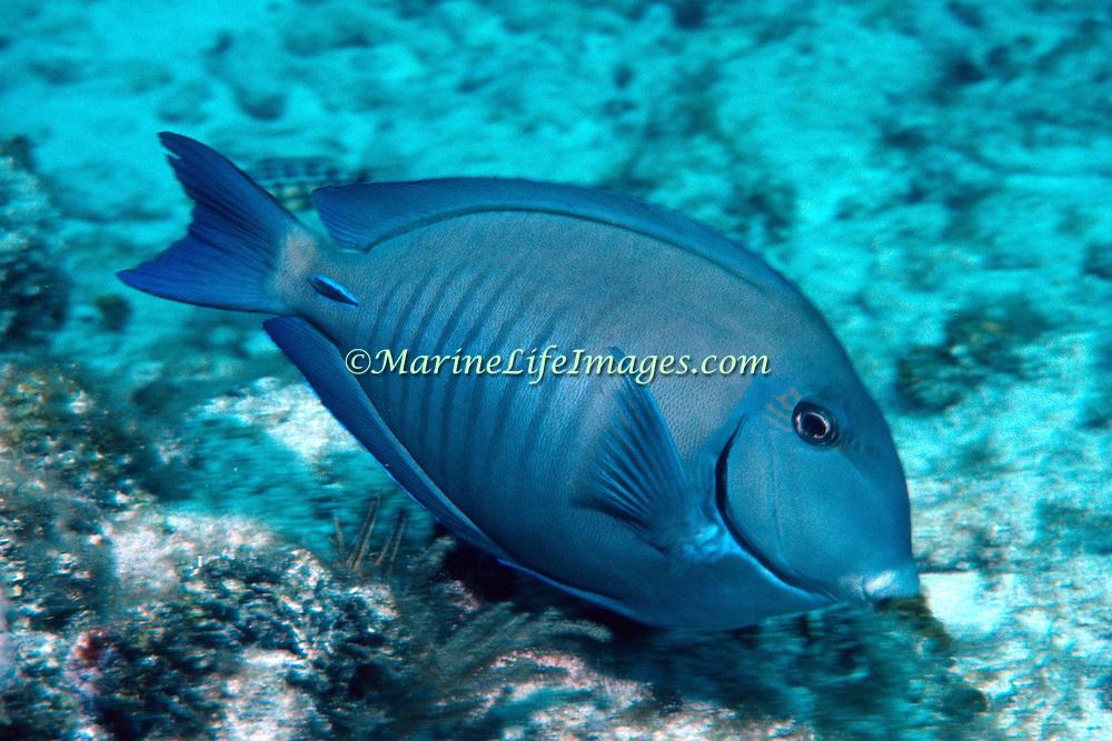 Doctorfish inhabit reefs in Tropical West Atlantic; picture taken Grand Cayman.