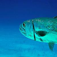 Barracuda Close up, Sphyraena barracuda, (Edwards in Catesby, 1771), Grand Cayman