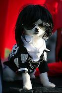 31st October 2009. Long Beach, California. The Haute Dog Howl'oween Parade in Long Beach. Pictured is Bobby Gorgeous the white Pomeranian, dressed as Michael Jackson. PHOTO © JOHN CHAPPLE / www.chapple.biz.john@chapple.biz  (001) 310 570 9100.